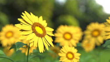 sunflower-1421011_960_720